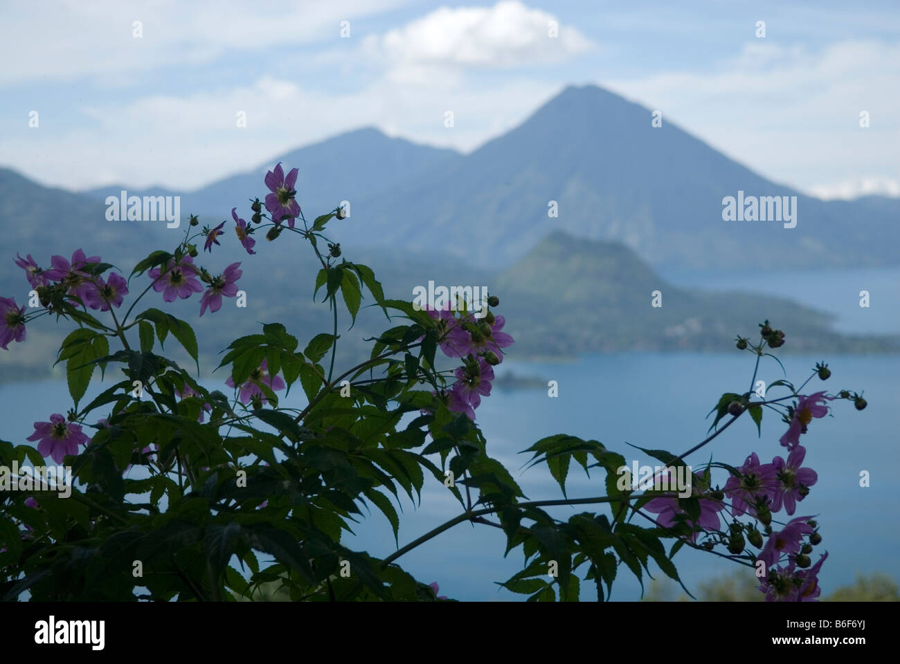 View through flowering plants on Lago de Atitlan with Volcan San Pedro (3020m) in the distance - Stock Image