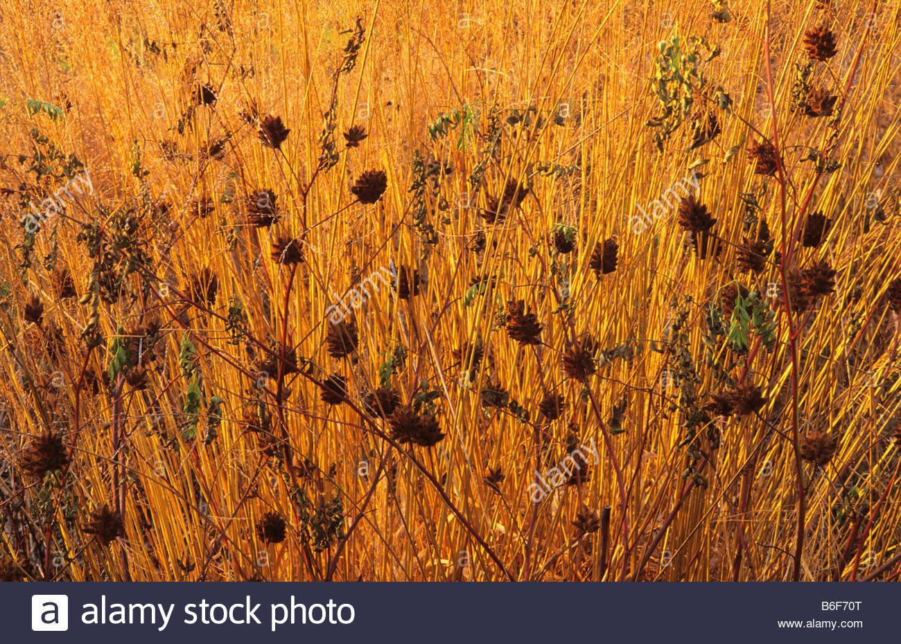 RHS Wisley Surrey design Piet Oudolf Glycyrrhiza yunnanensis seedheads Molinia Karl Forster - Stock Image