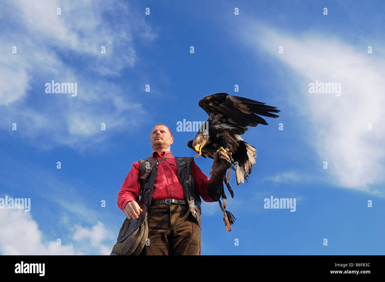 Eagle receiving its reward after landing on the falconer's gloved hand - Stock Image