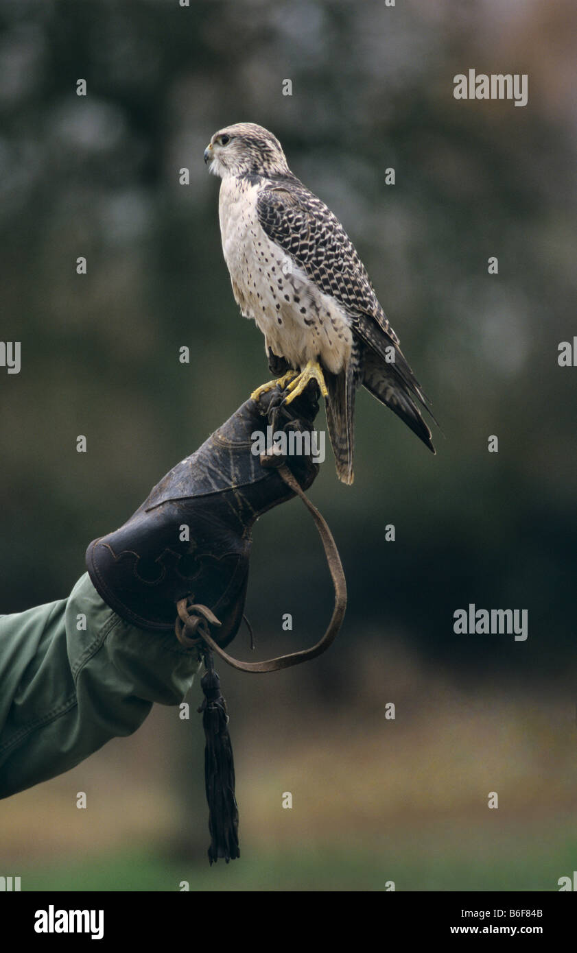 Gyrfalcon (Falco rusticolus) on a falconer's glove - Stock Image
