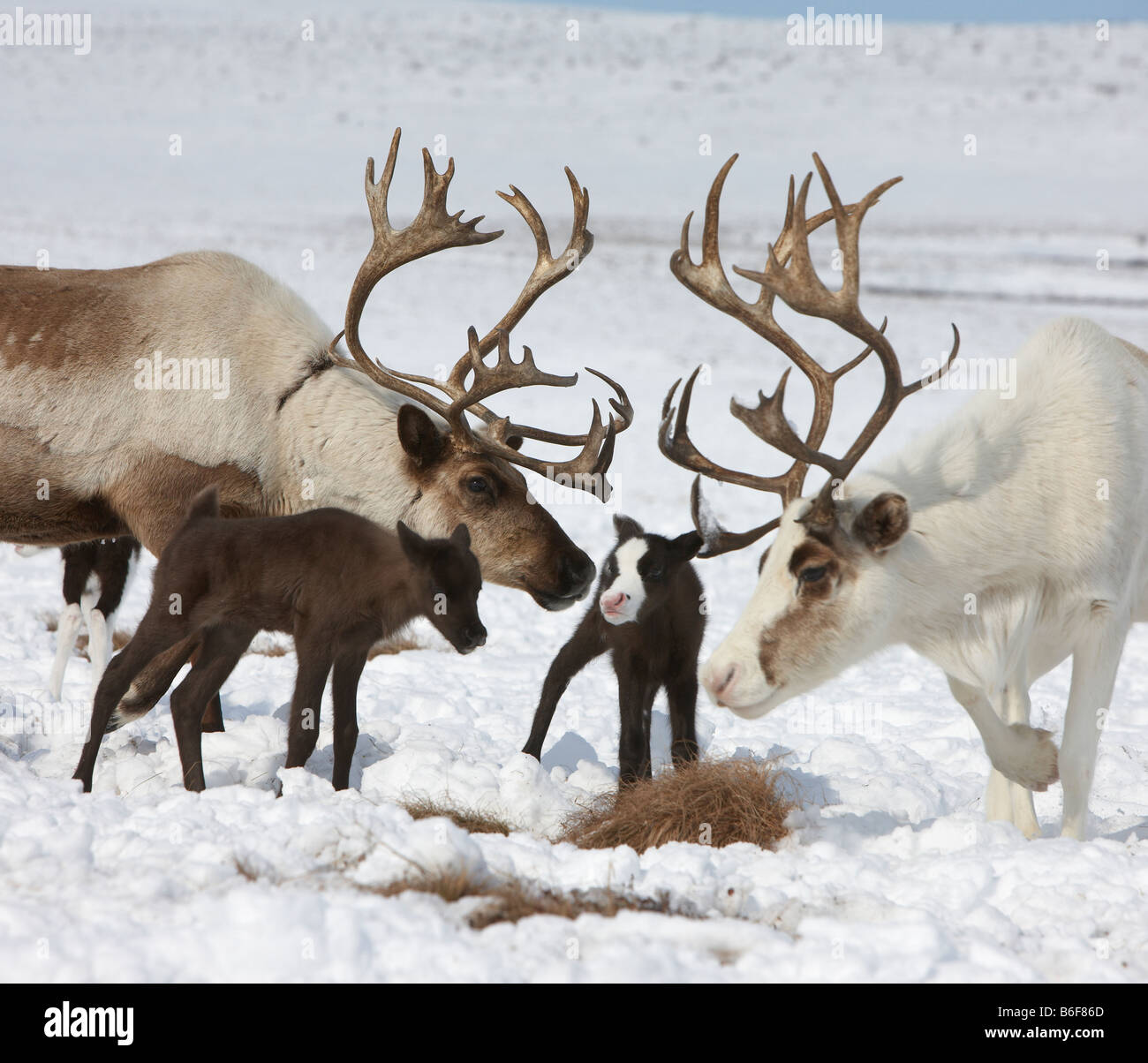 New born Reindeer with family, Kanchalan located in the Chukot Autonomous Region, Siberia Russia - Stock Image