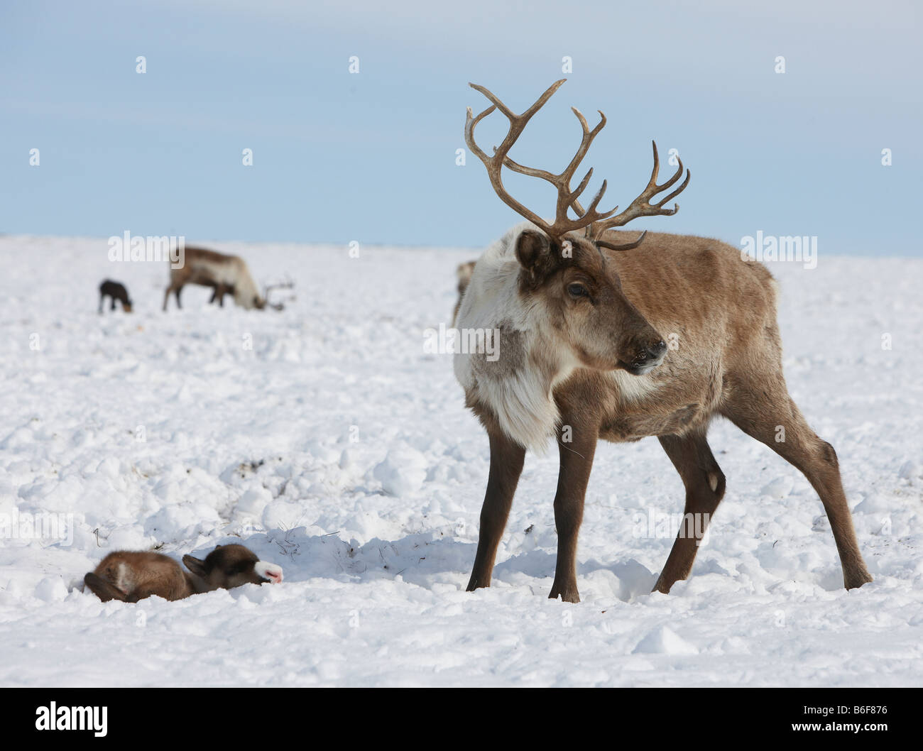 New born Reindeer with mother, Kanchalan located in the Chukot Autonomous Region, Siberia Russia - Stock Image