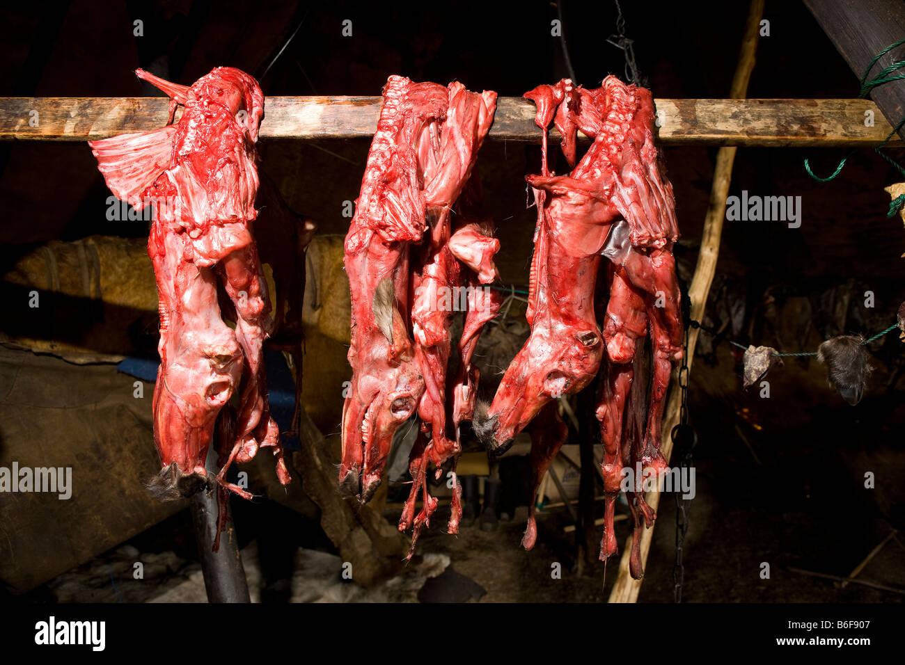 Skinned reindeer hanging in Yupic tent, Kanchalan, Siberia Russia - Stock Image