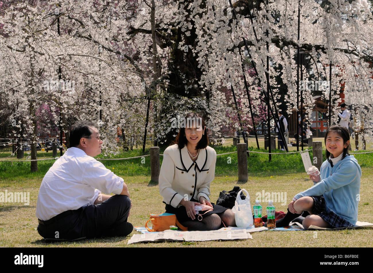 Family celebrating the Cherry Blossom Festival under a blossoming cherry tree in Kamogamo Shrine, Kyoto, Japan, - Stock Image