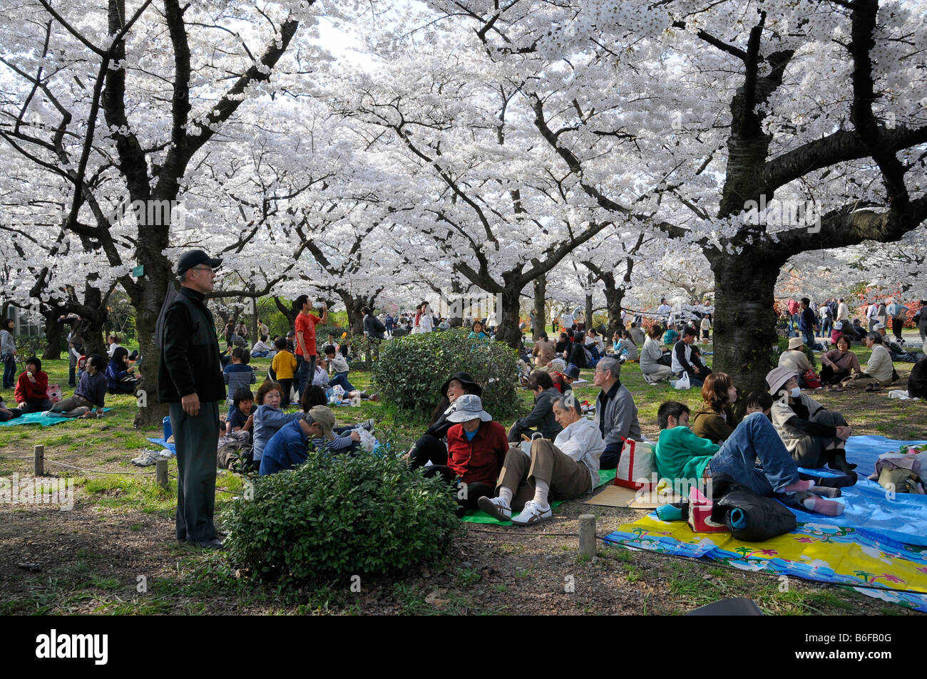 Japanese people celebrating the Cherry Blossom Festival under blossoming cherry trees in the botanical gardens, Stock Photo