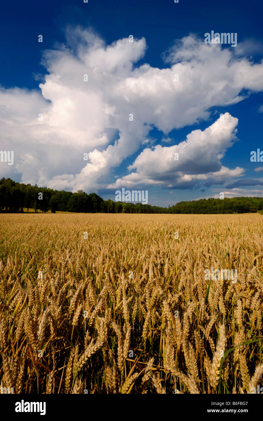 Wheat field with large cumulus cloud, Sweden, Scandinavia, Europe - Stock Image