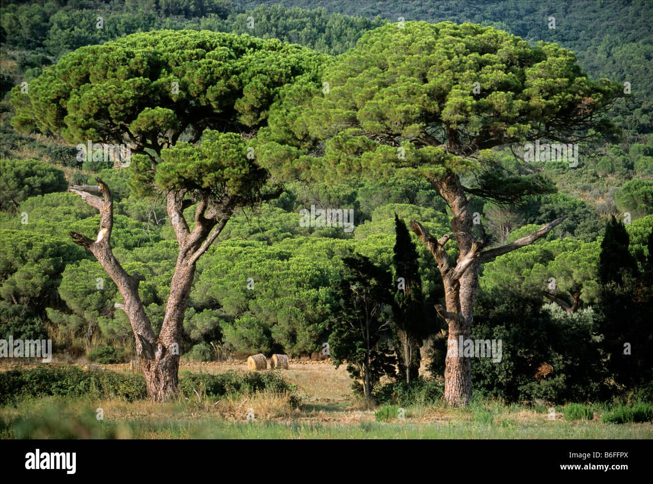 Pine forest near Castiglione della Pescaia, Grosseto province, Tuscany, Italy, Europe - Stock Image