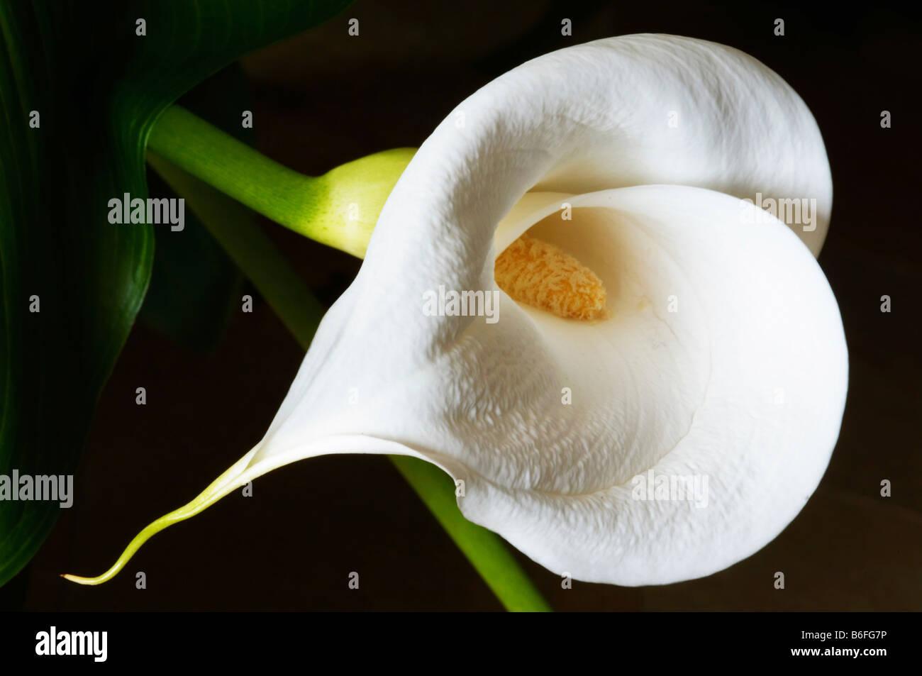 Calla or Arum Lily (Zantedeschia), flower - Stock Image