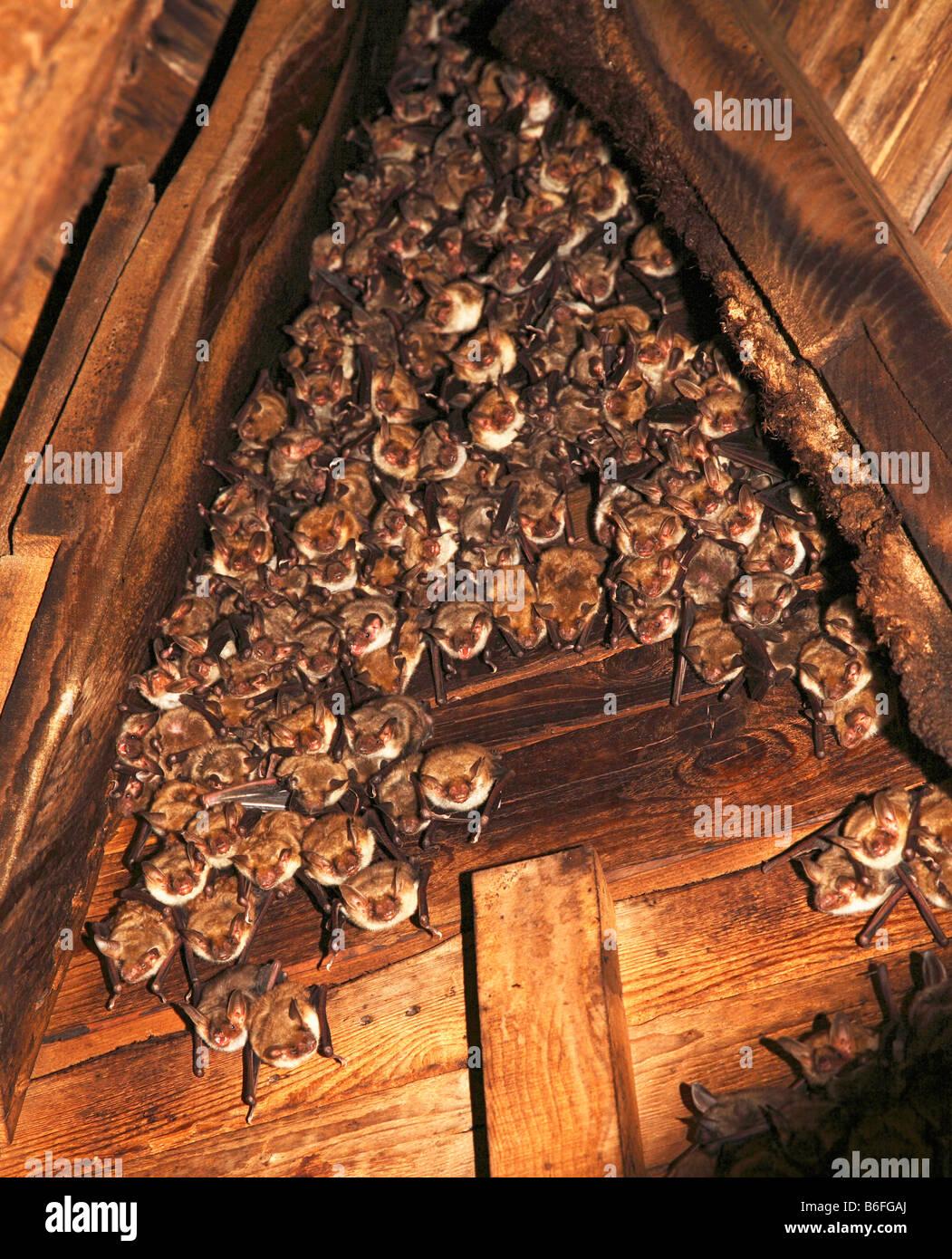 Greater mouse-eared bat (Myotis myotis) inside a church bell tower, Niederraunau, Bavaria, Germany, Europe Stock Photo