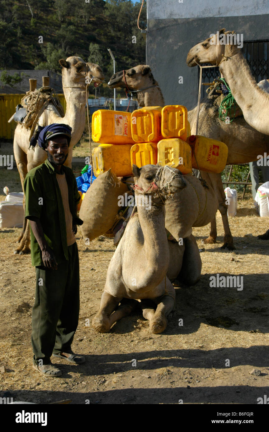 Camels being loaded with yellow plastic containers near Aksum, Ethiopia, Africa Stock Photo