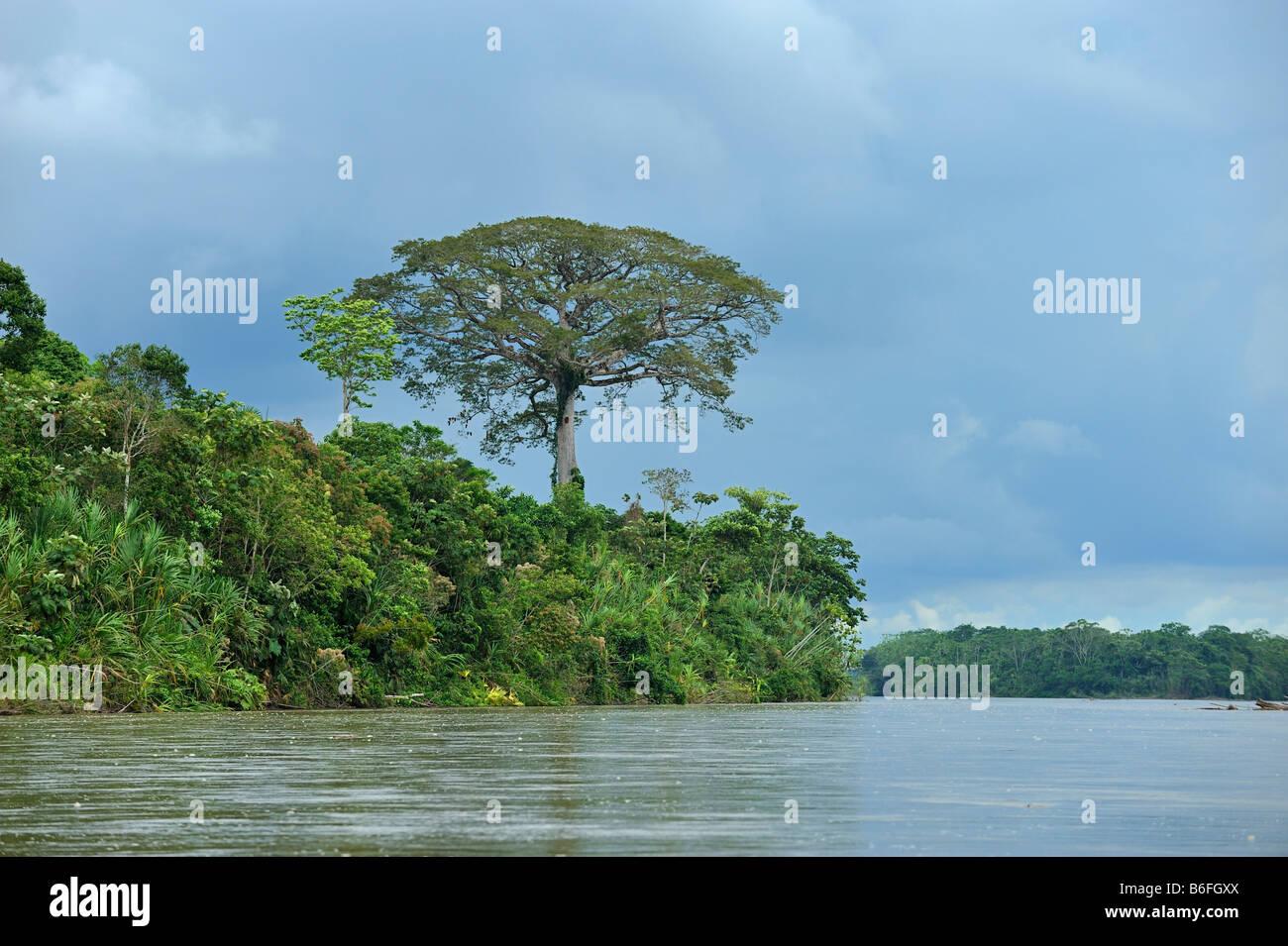 Kapok tree (Ceiba pentandra), known as Ceibo in Ecuador, by the Rio Napo river near the city of El Coca, Ecuador, - Stock Image
