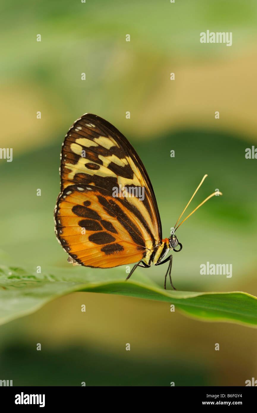 Heliconius xanthocles Longwing Butterfly sitting on a leaf, Ecuador, South America - Stock Image