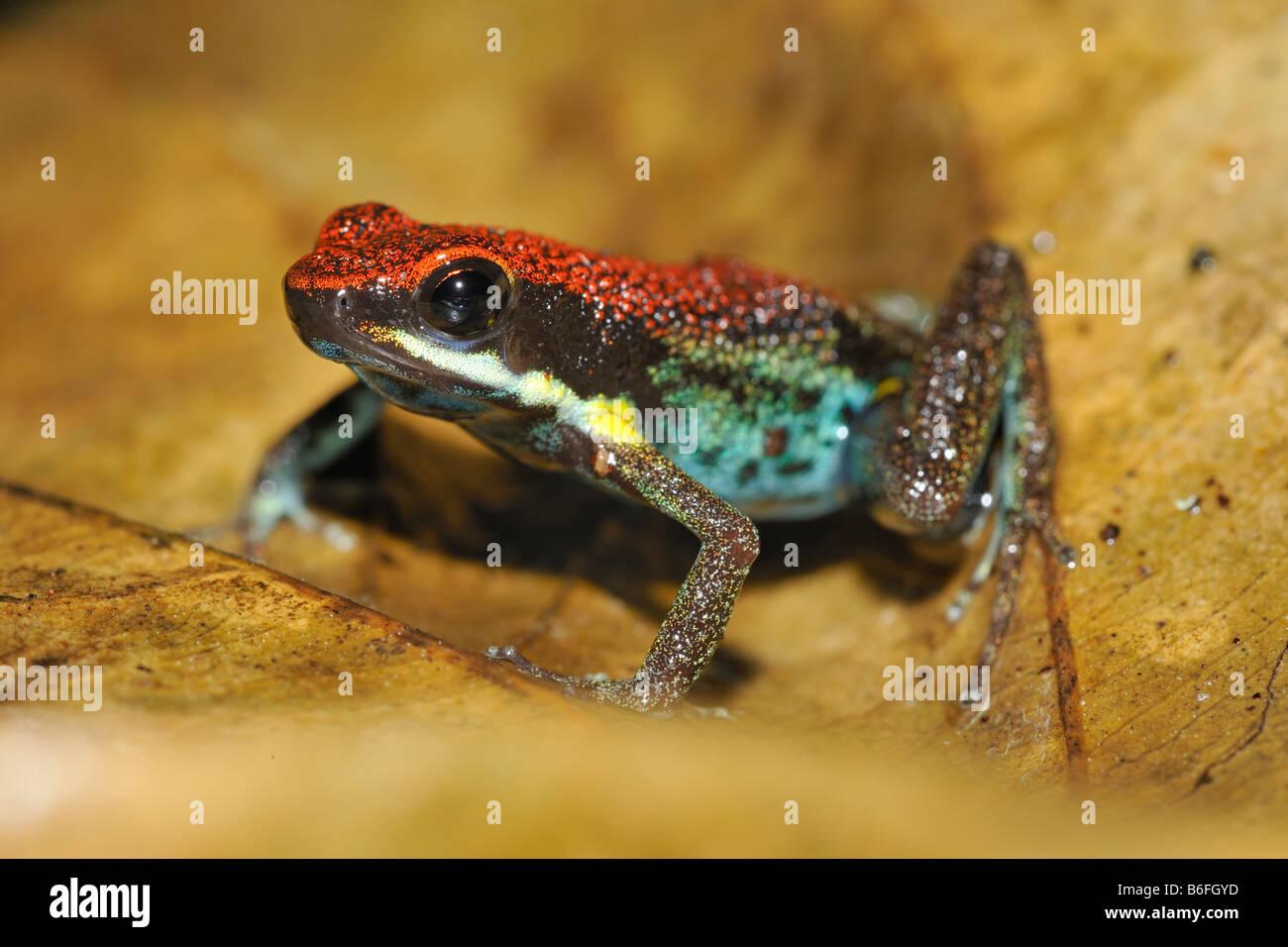 Sanguine Poison Frog, Zaparo's Poison Frog, or Rana Venenosa (Allobates zaparo) in the rain forest of Ecuador, - Stock Image