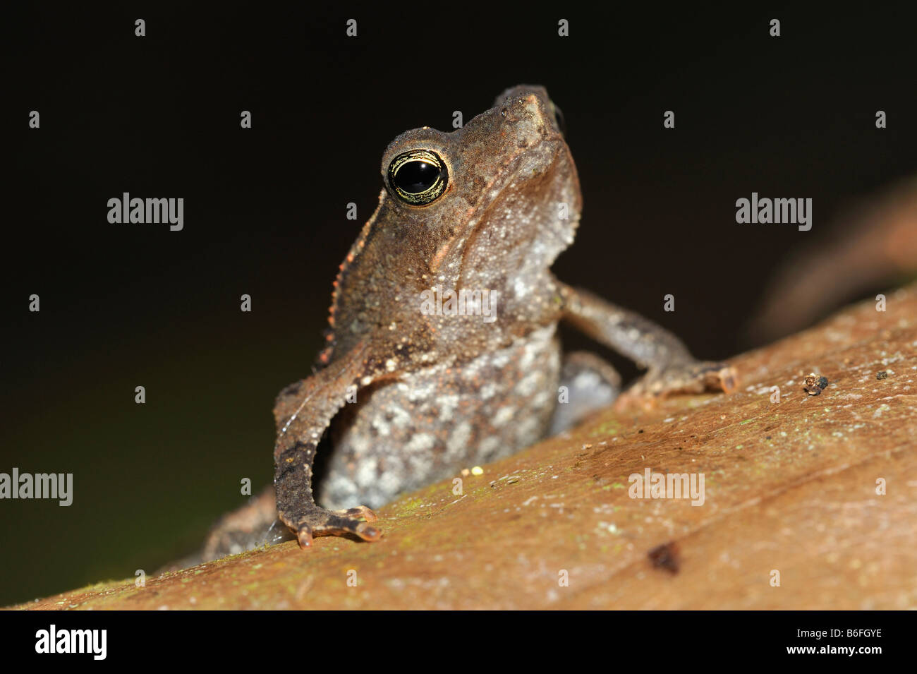South American Common Toad or Sapo Crestado (Rhinella margaritifer) in the rain forest of Ecuador, South America - Stock Image