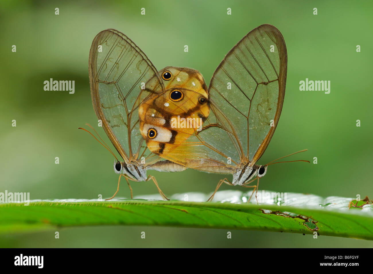 Glasswing Butterfly, mating, Ecuador, South America - Stock Image