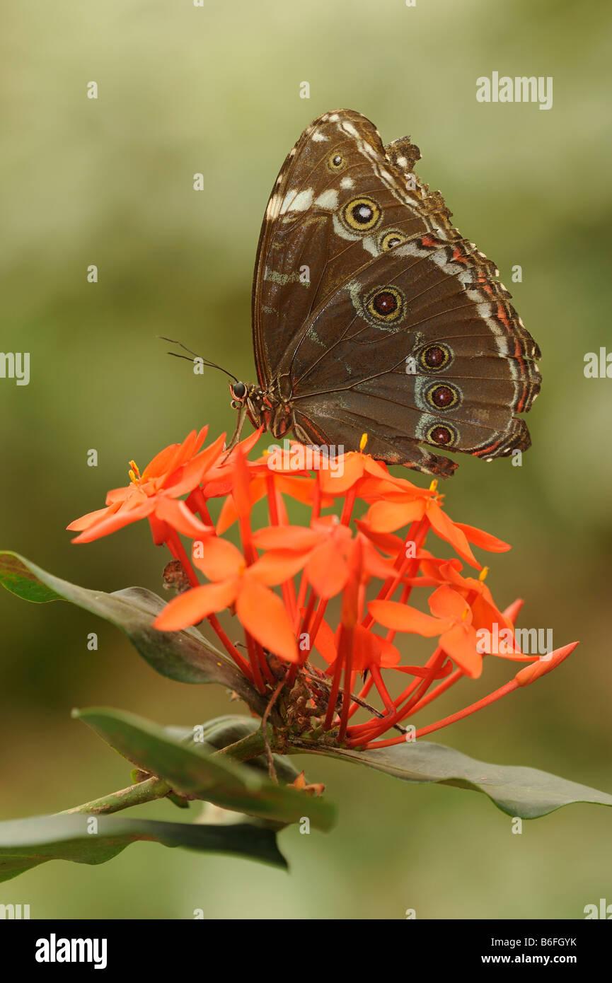 Peleides Blue Morpho Butterfly (Morpho peleides), Ecuador, South America - Stock Image