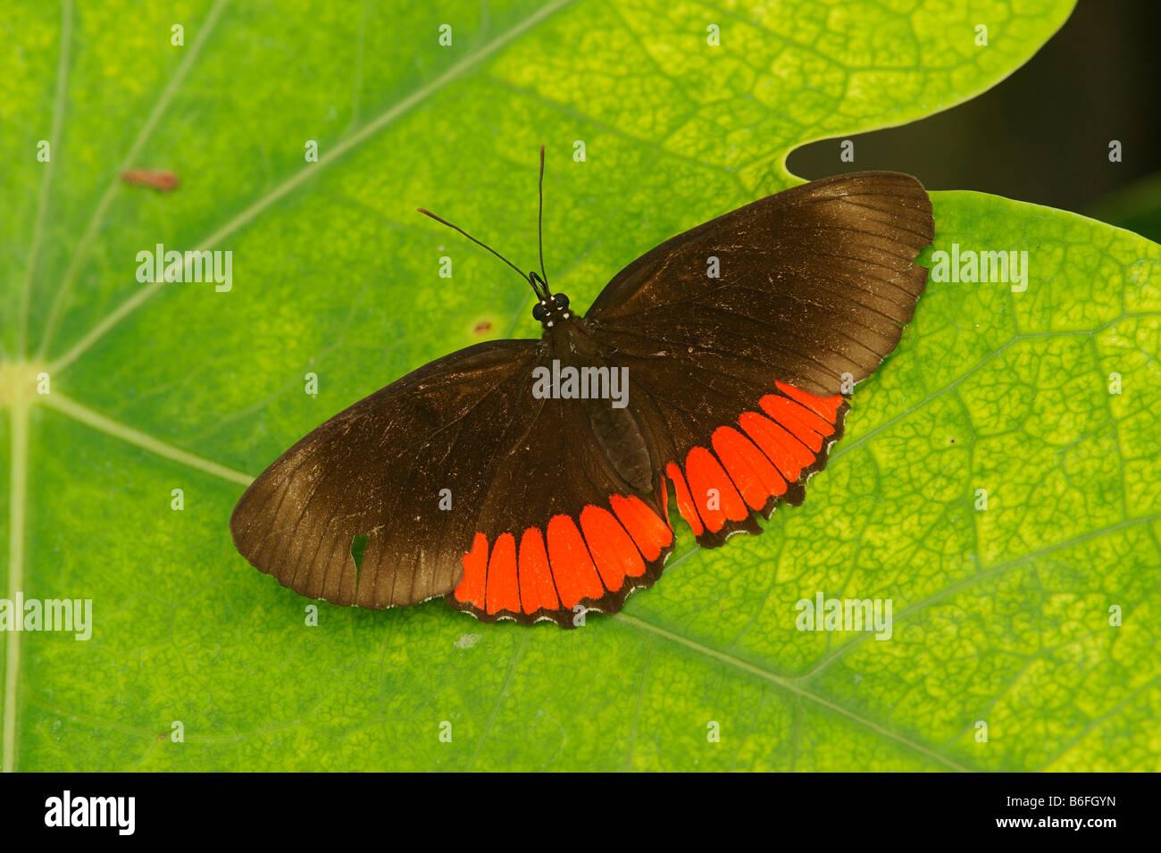 Tropical Butterfly, Ecuador, South America - Stock Image