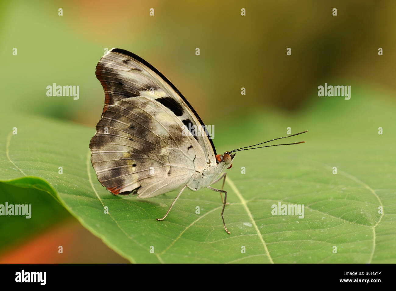 Tropical Butterfly on a leaf, Ecuador, South America - Stock Image