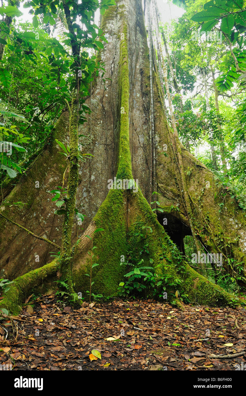 Aerial roots of a Kapok tree (Ceiba pentandra), known as Ceibo in Ecuador, South America - Stock Image