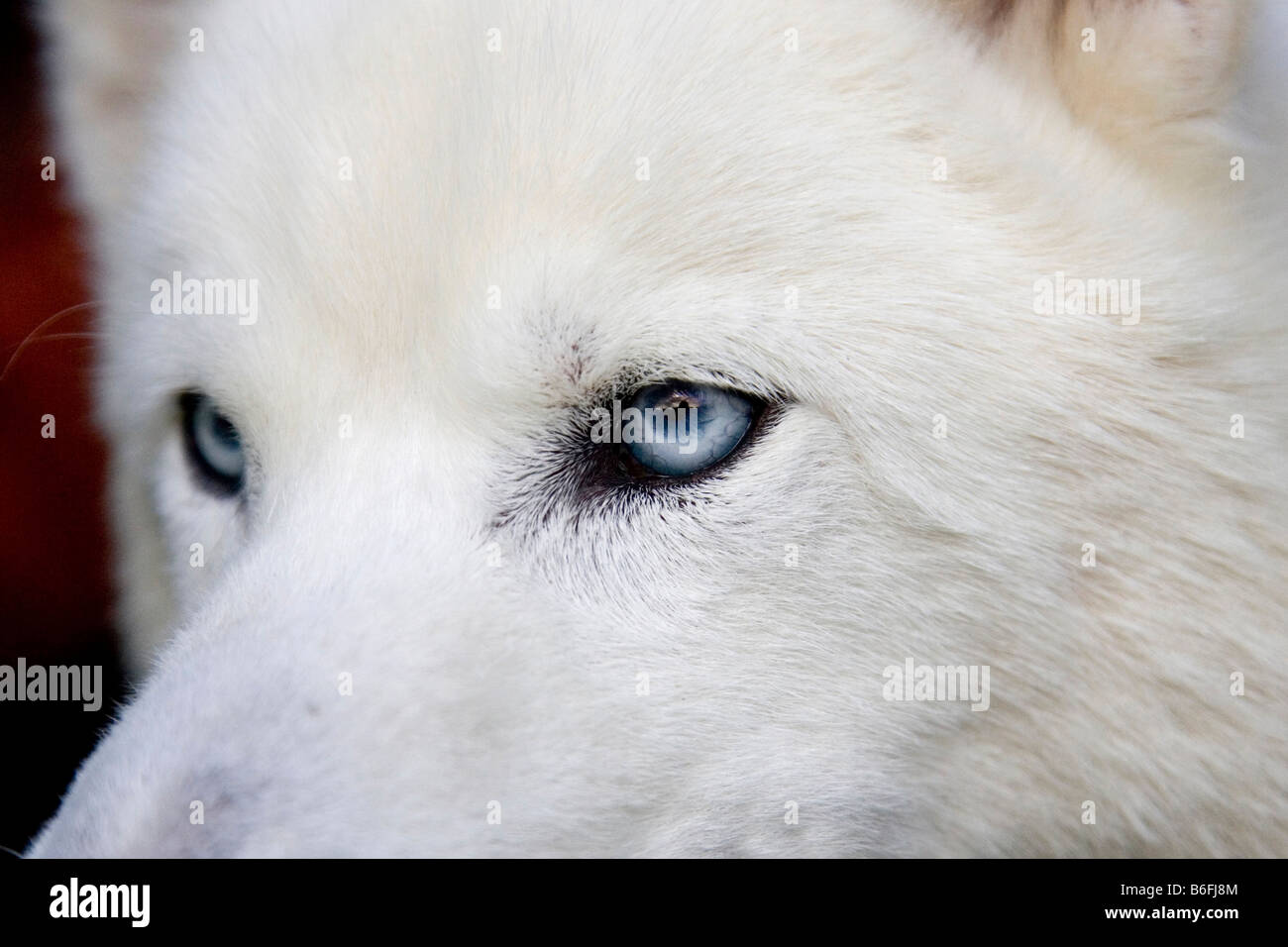 Northern Husky mix with blue eyes, close-up Stock Photo