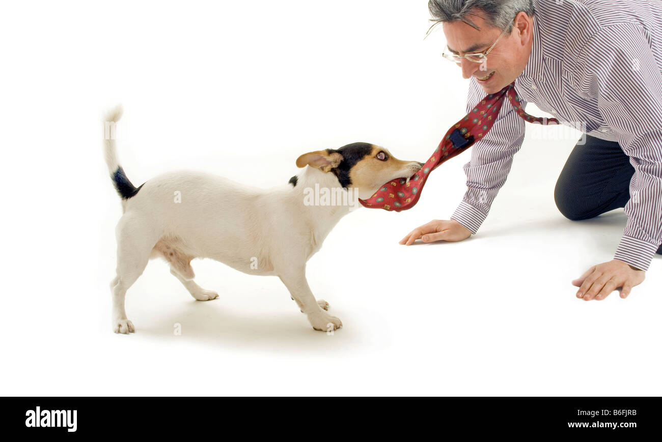 Jack Russel Terrier pulling on a man's tie - Stock Image