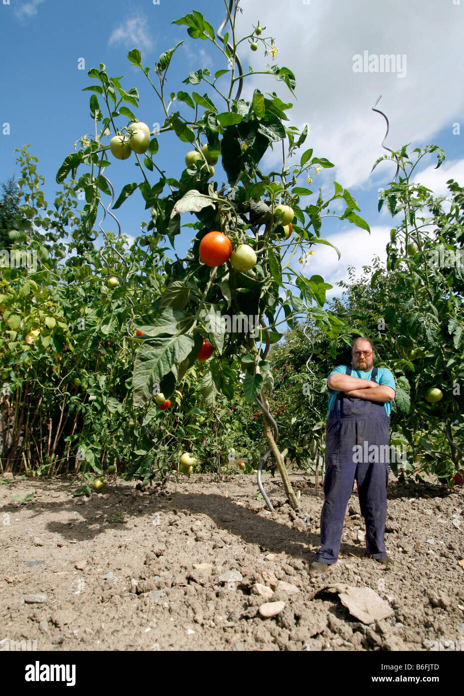 Farmer standing beside an oversized tomato plant, genetically modified food - Stock Image