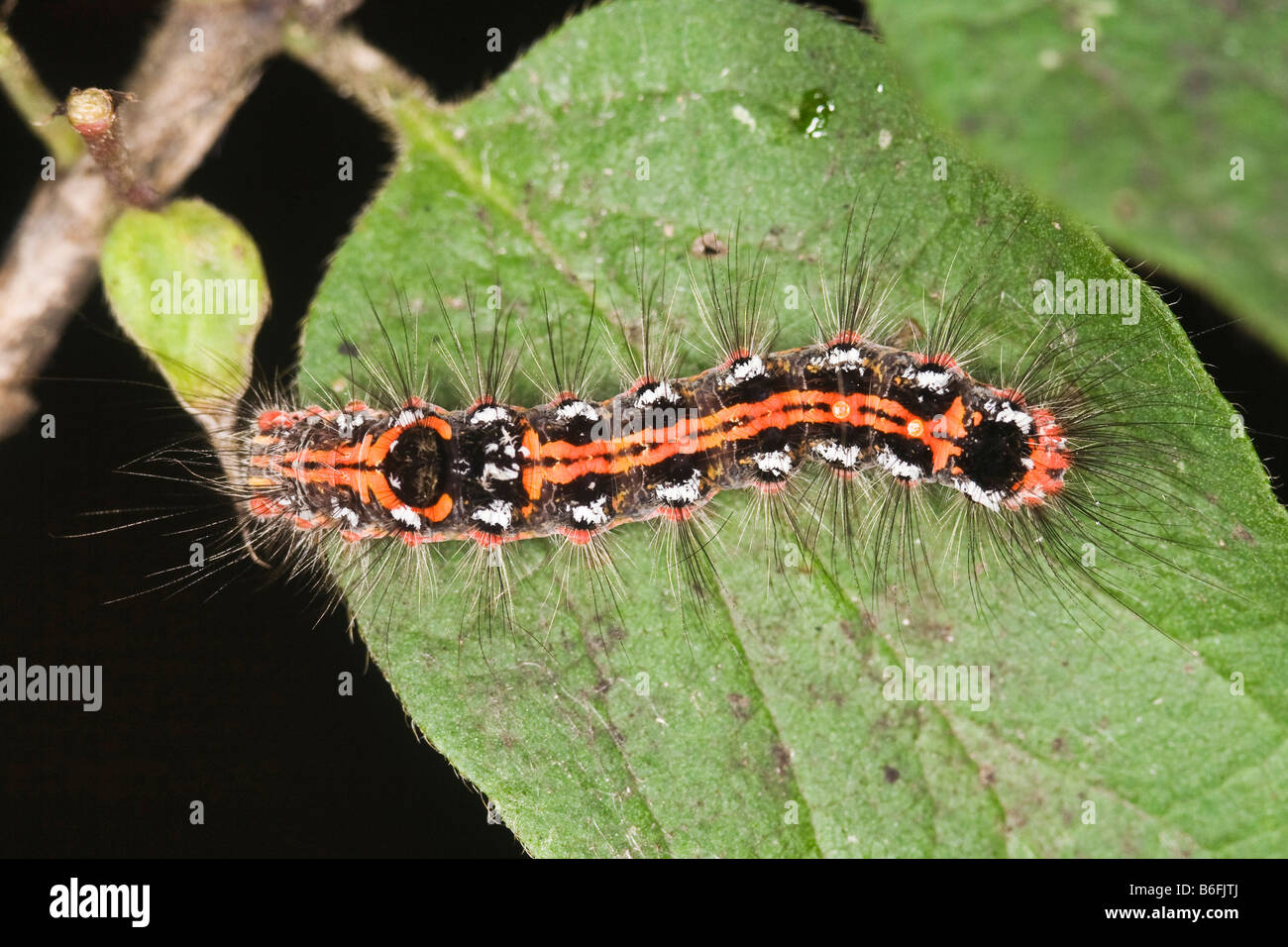 Caterpillar of a Yellow-tail moth (Euproctis similis) - Stock Image