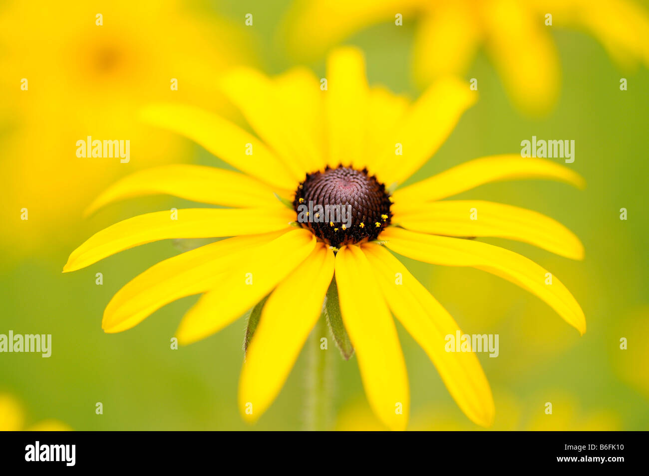 Black-eyed Susan, Brilliant Coneflower, Eastern Coneflower, or Orange Coneflower (Rudbeckia fulgida) - Stock Image