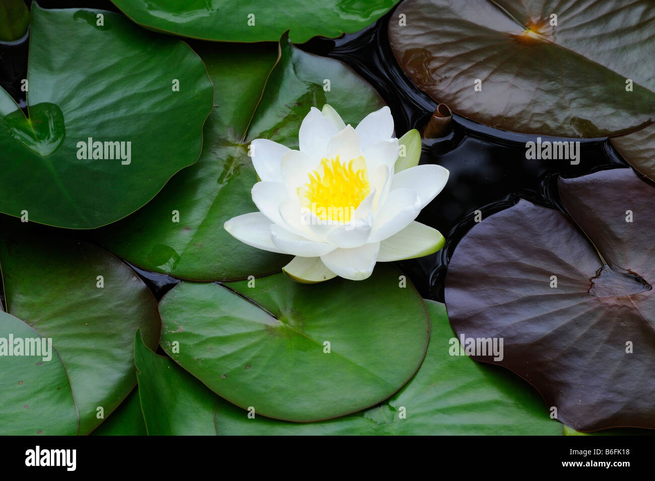 White Lotus Flowers Stock Photos White Lotus Flowers Stock Images