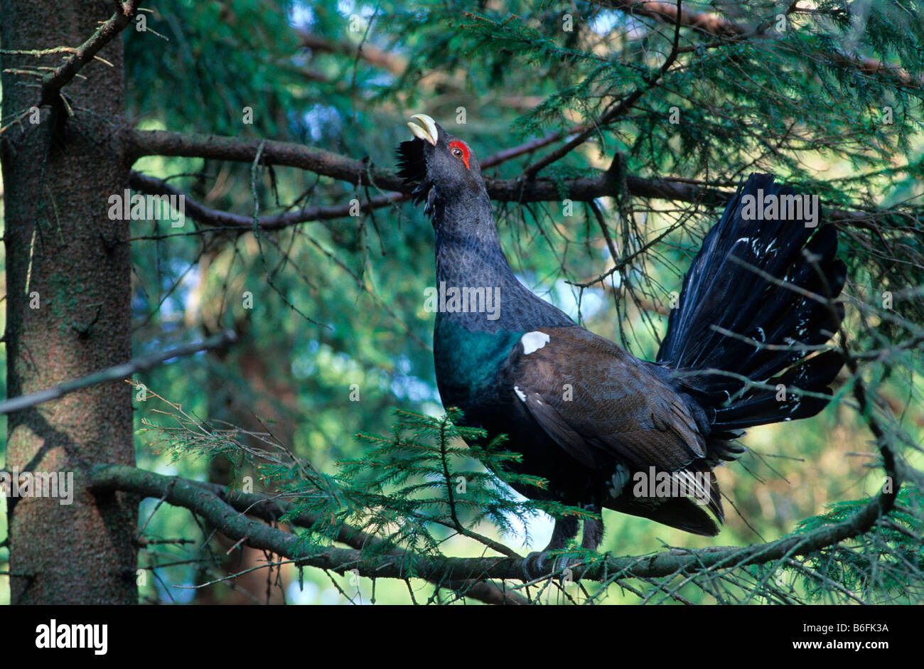 Capercaillie or Wood Grouse or Western Capercaillie (Tetrao urogallus), bird performing a courtship display while Stock Photo