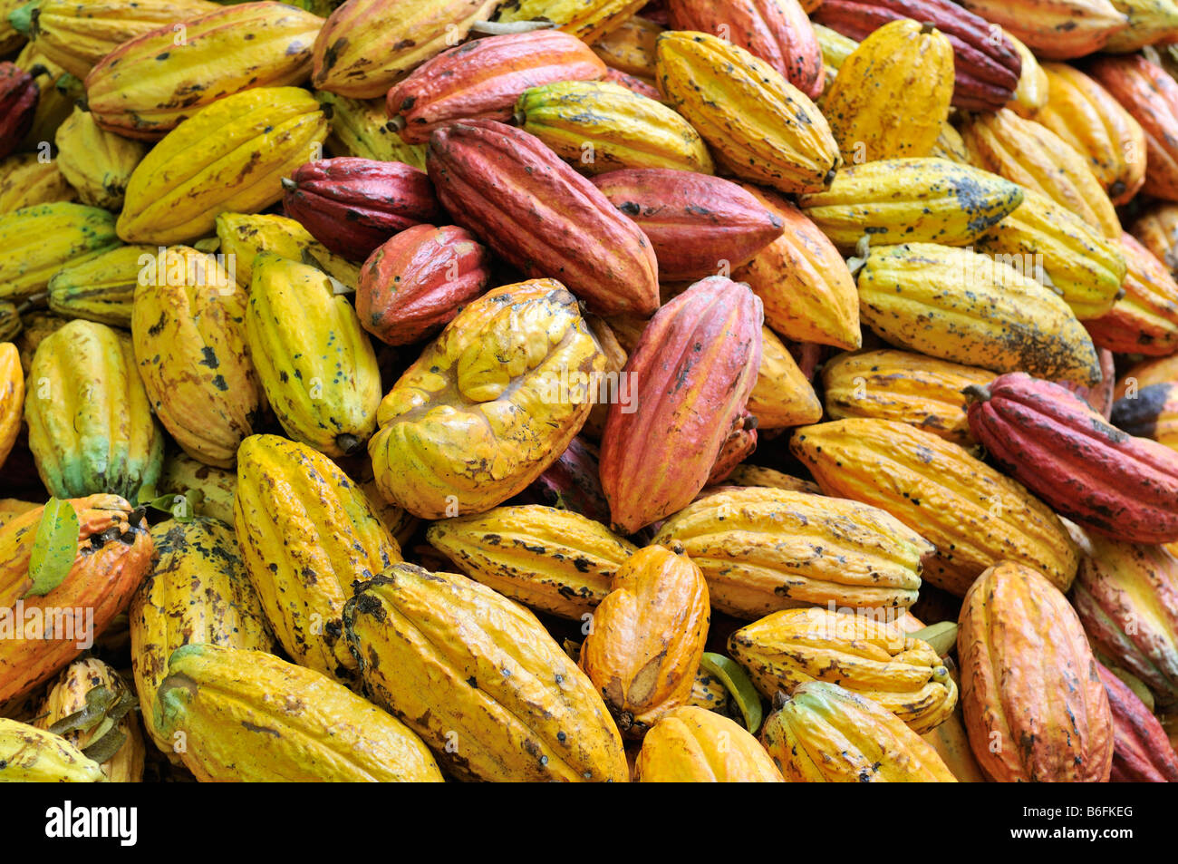 Cacao pod at harvest time, Bolivia, South America Stock Photo