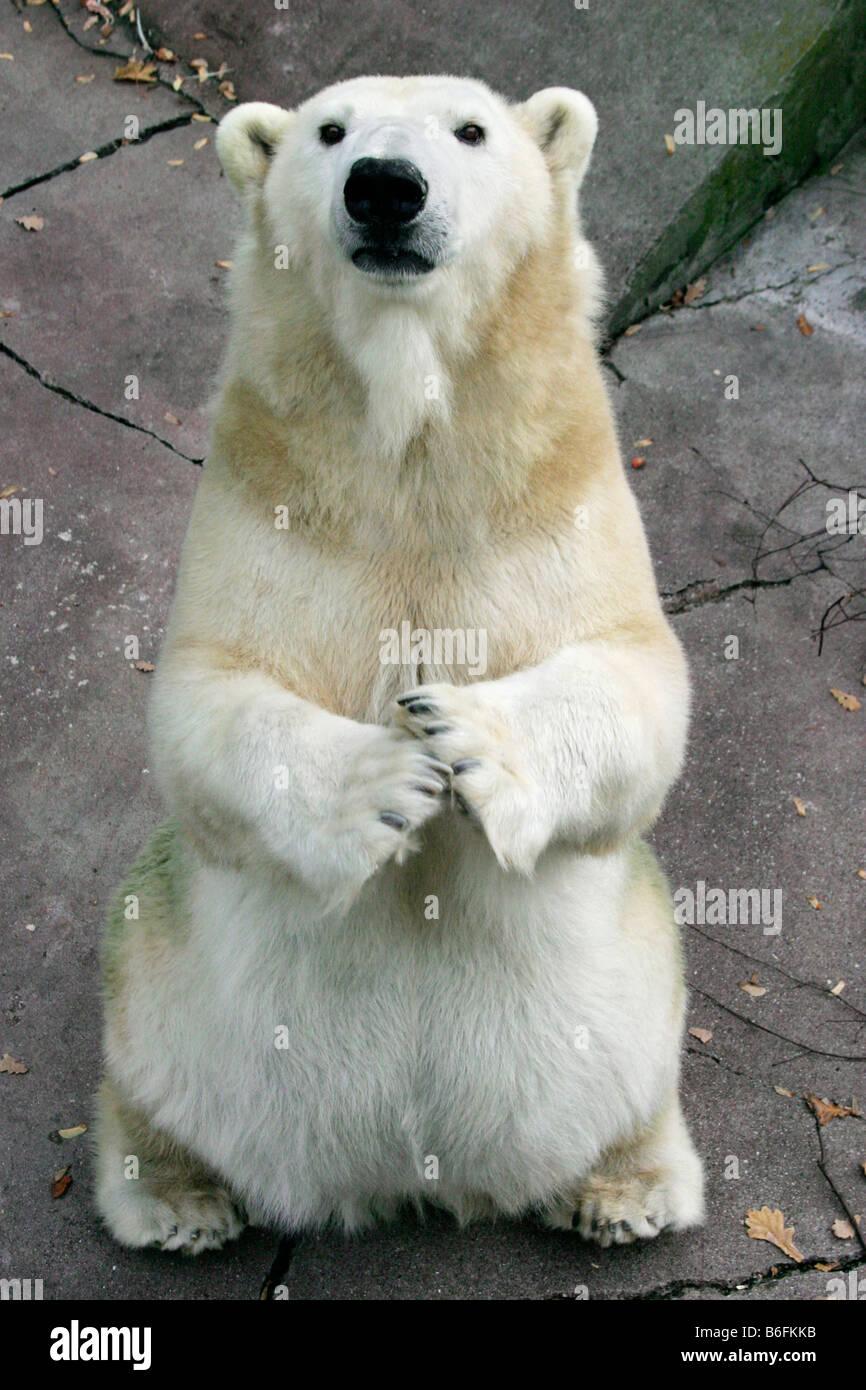Polar Bear (Ursus maritimus, Thalarctos maritimus), sitting up and begging Stock Photo