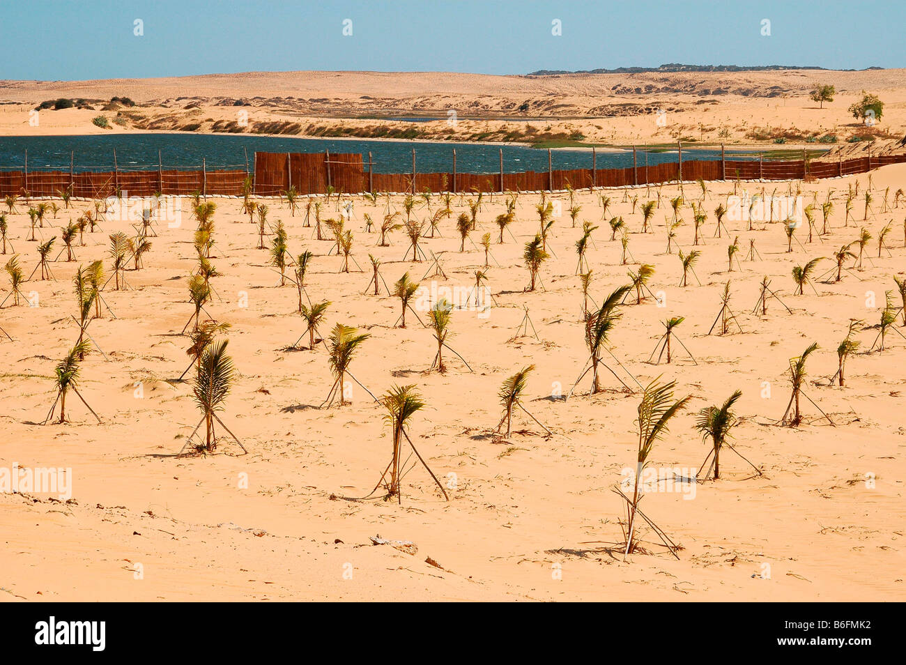 Plantation with young palms for a reforestation project for the containment of the growing desert areas, near Mui - Stock Image