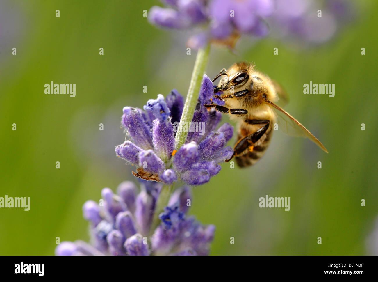 European Honey Bee or Western Honey Bee (Apis mellifera) looking for food on True or English lavender (Lavandula - Stock Image