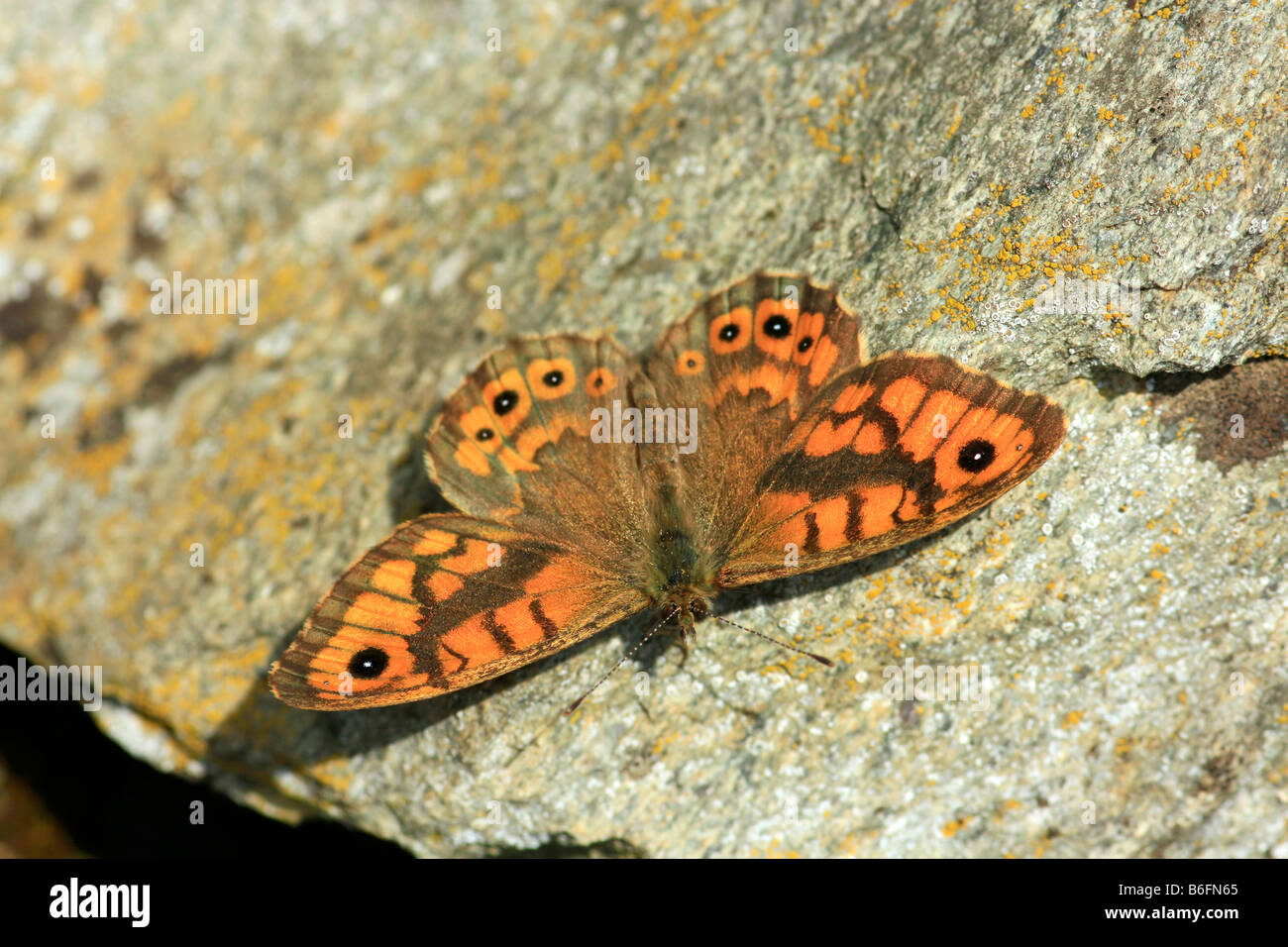 Wall Brown (Lasiommata megera) butterfly sunning itself on stone vineyard wall - Stock Image