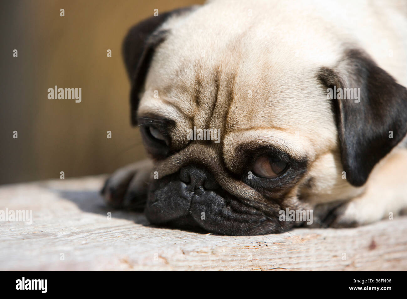 Young pug lying on a wooden bench - Stock Image
