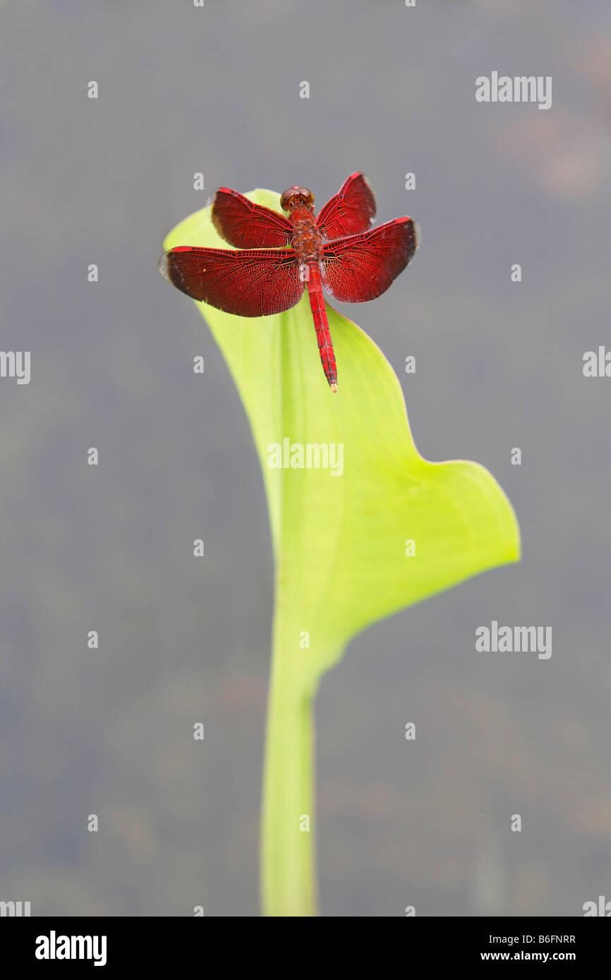Dragonfly on a leaf, Putussibau, West Kalimantan/ Kalimantan Bar, Borneo, Indonesia - Stock Image