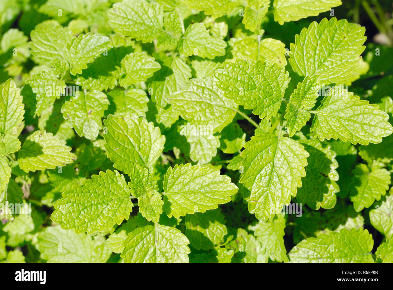 Light yellow leaves of the Lemon balm (Melissa officinalis) plant Stock Photo