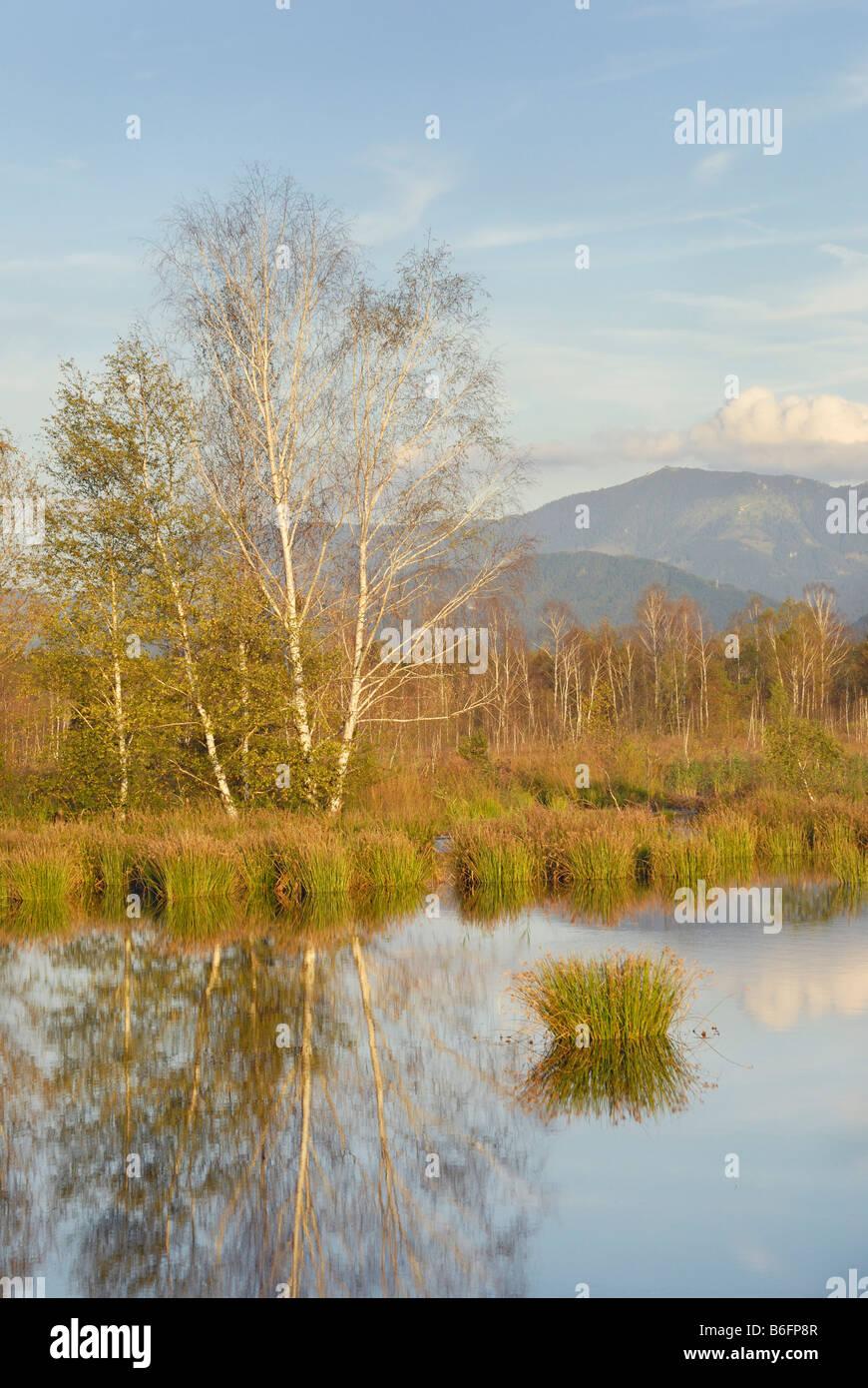 Marsh landscape with pond and birch grove, Alps at back, Nicklheim, alpine upland, Bavaria, Germany, Europe Stock Photo