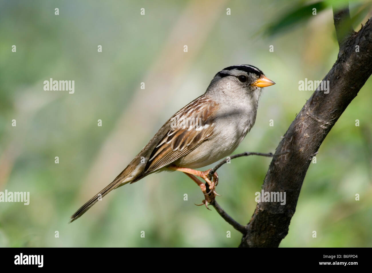 White-crowned Sparrow (Zonotrichia leucophrys), Yukon Territory, Canada, North America - Stock Image