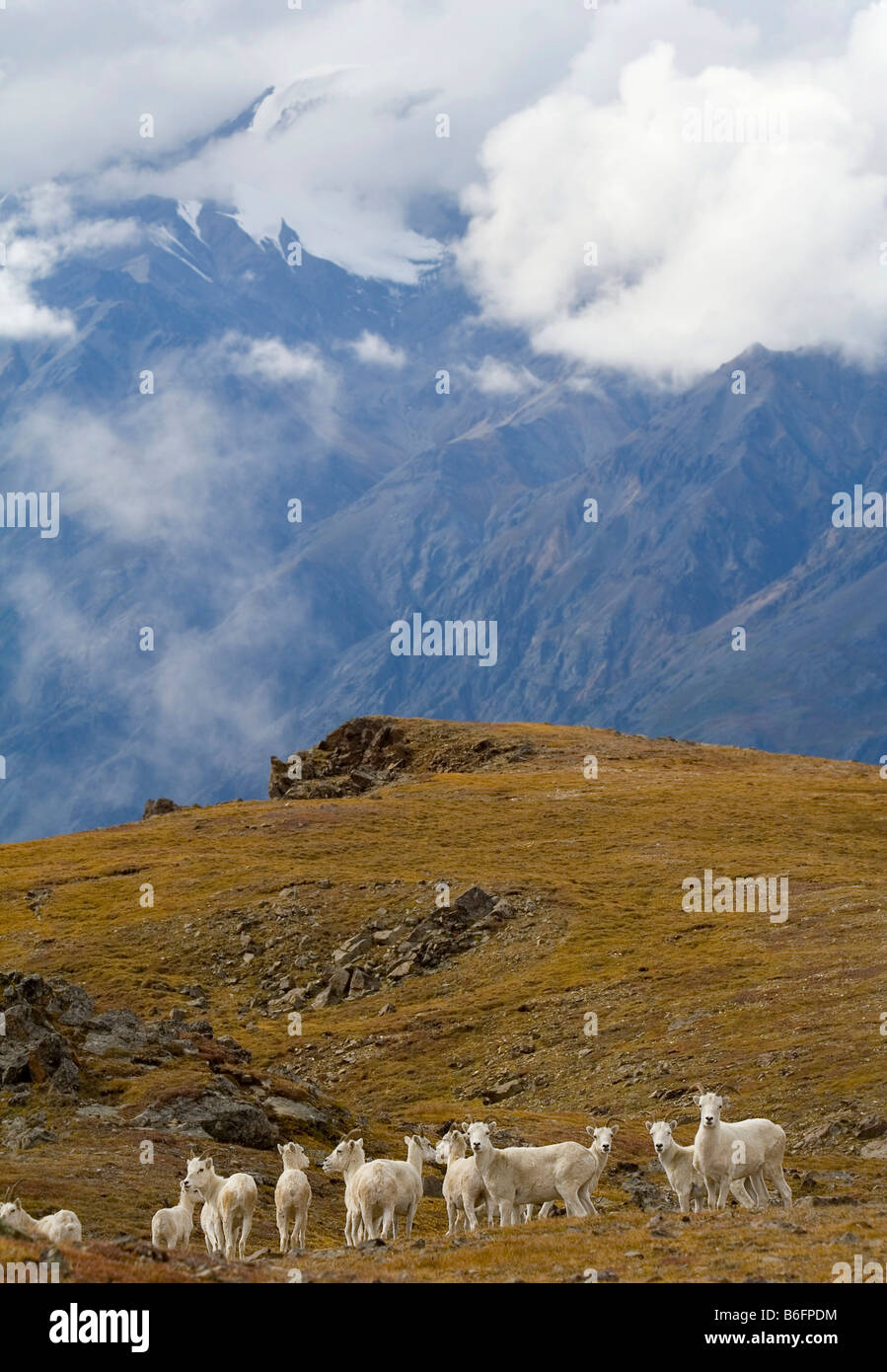 Group of Dall Sheep (Ovis Dalli) on an alpine meadow, Hoge Pass, St. Elias Mountains behind, Donjek Route, Kluane - Stock Image