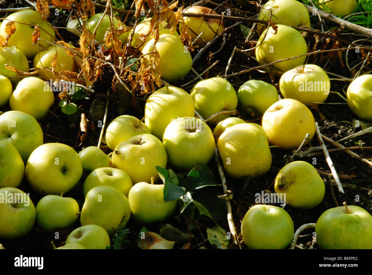 fallen apples in an orchard Stock Photo
