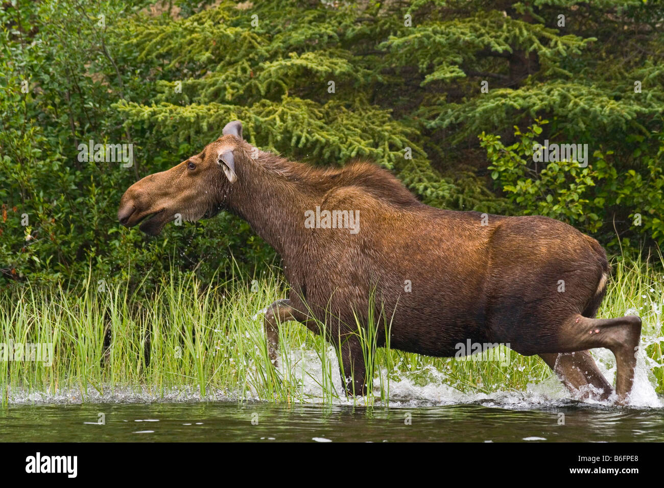 Cow Moose (Alces alces), running in shallow water, Big Salmon River, Yukon Territory, Canada, North America - Stock Image