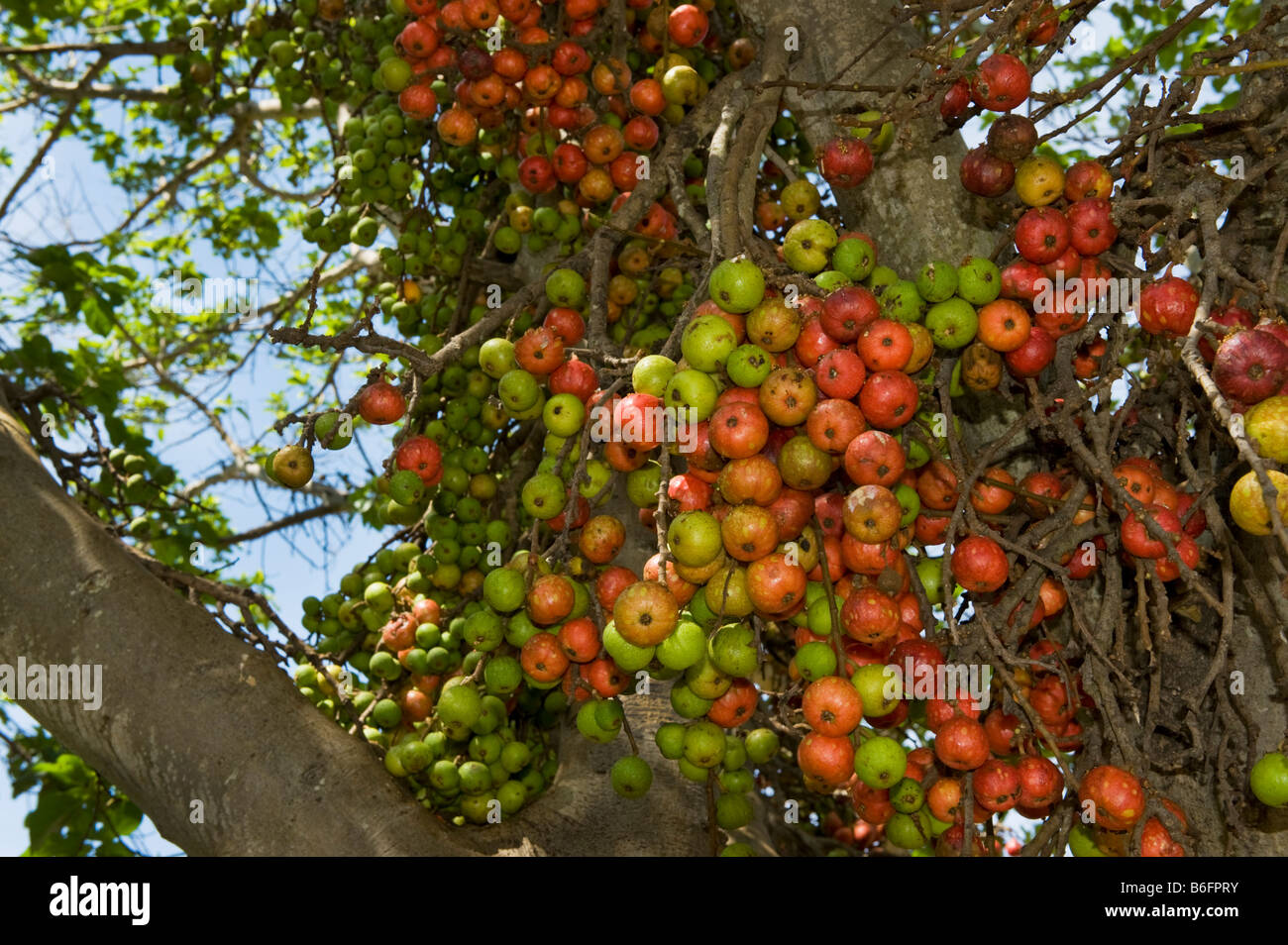 figtree south africa fig tree fruit ripe red green figs fruiting wildlife wild green south-Afrika tree tree south - Stock Image