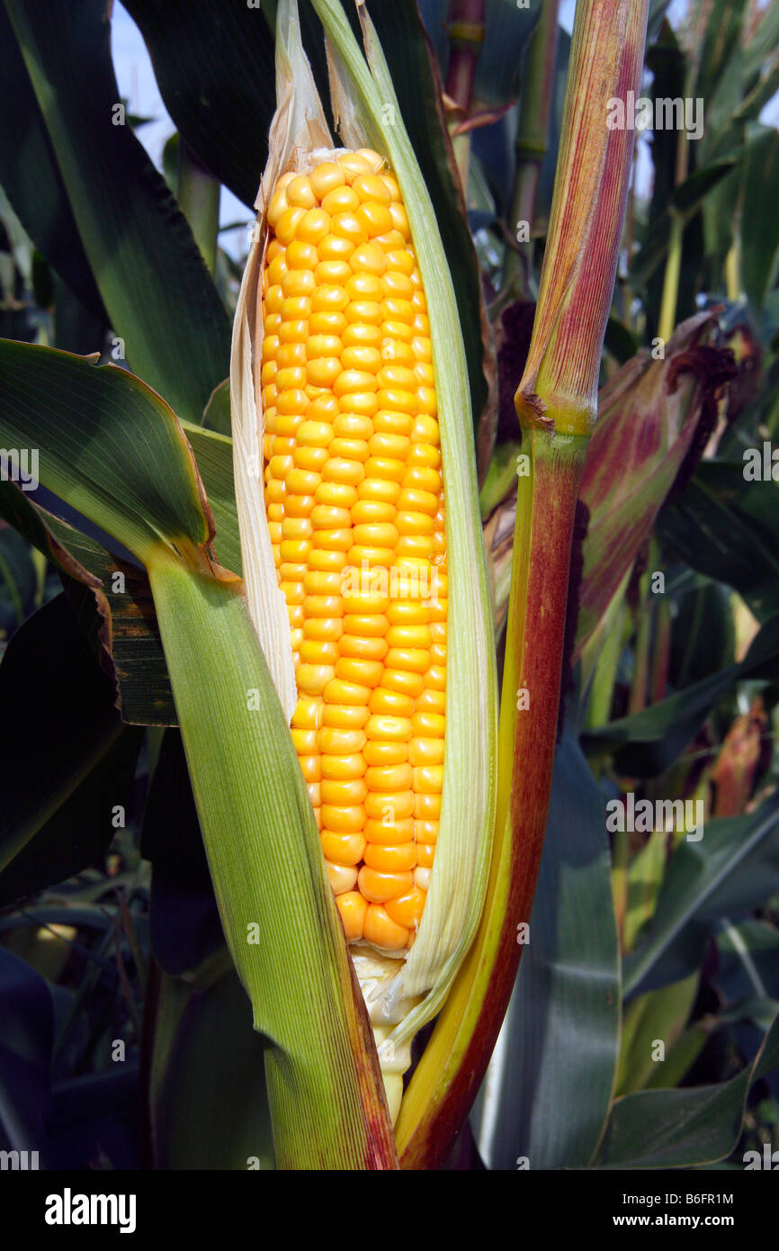 Sweet-corn, cob in a field of sweet-corn (Zea mays), cultivation, standard agricultural crop, food plant, vegetable - Stock Image