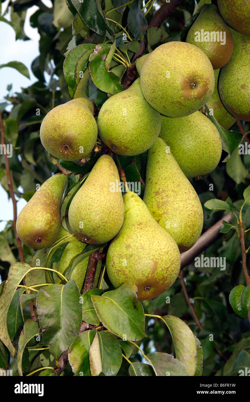 Pears on a pear tree (Pyrus communis cultivar), Altes Land fruit growing area, Lower Saxony, Germany, Europe Stock Photo