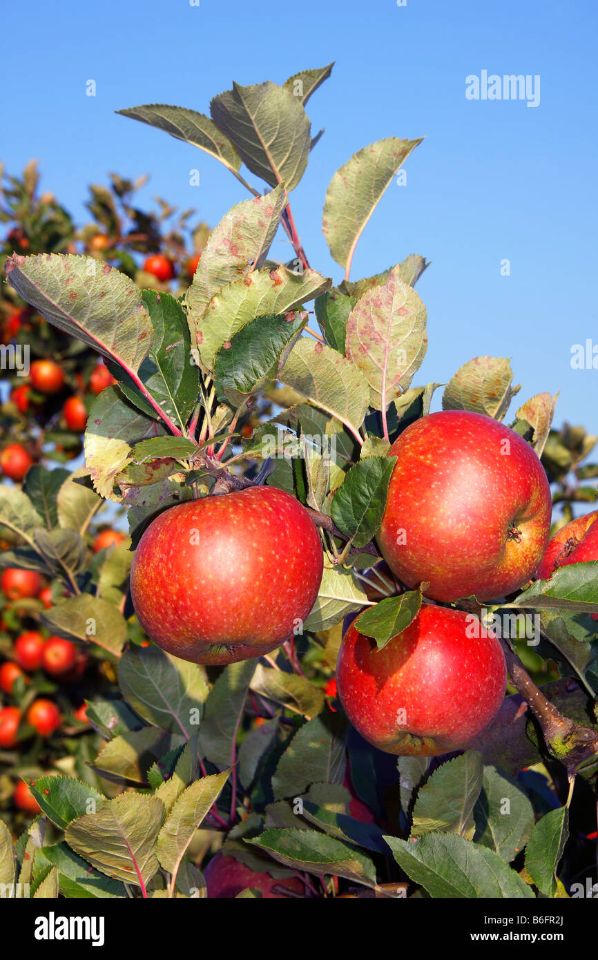 Red Apples (Malus x domestica), apple tree in an orchard, Altes Land, Lower Saxony, Germany, Europe Stock Photo