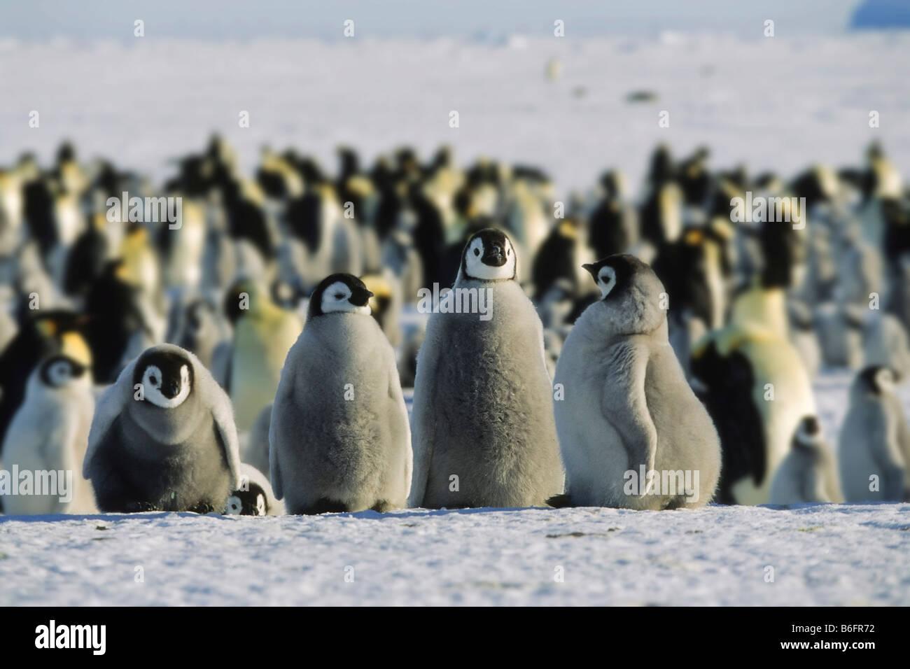 Emperor Penguins (Aptenodytes forsteri), chicks, Antarctica - Stock Image