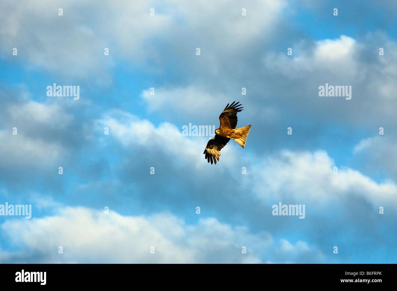 Hover falcon Altay Russian federatoin - Stock Image