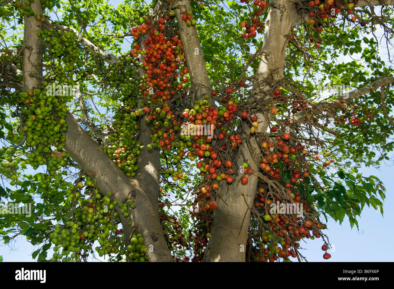 south africa fig tree fruit ripe red green figs fruiting wildlife wild green south-Afrika tree tree south-Afrika - Stock Image